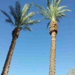 These are palm trees in Tucson, AZ. The are located at the Presidio which is in downtown Tucson. Notice the blue sky. There are not a lot of clouds in the AZ sky. It's the desert effect.