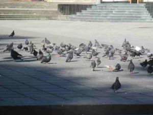 Pigeons Chisanau Moldova