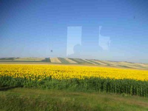 Romanian Sunflowers from Train